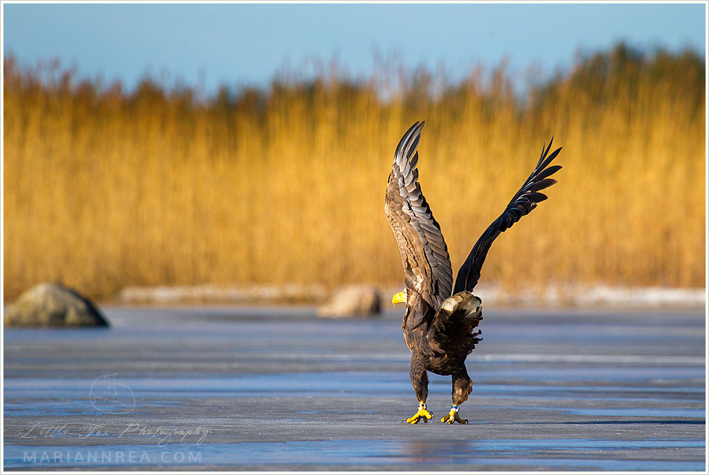 The wings of an eagle
